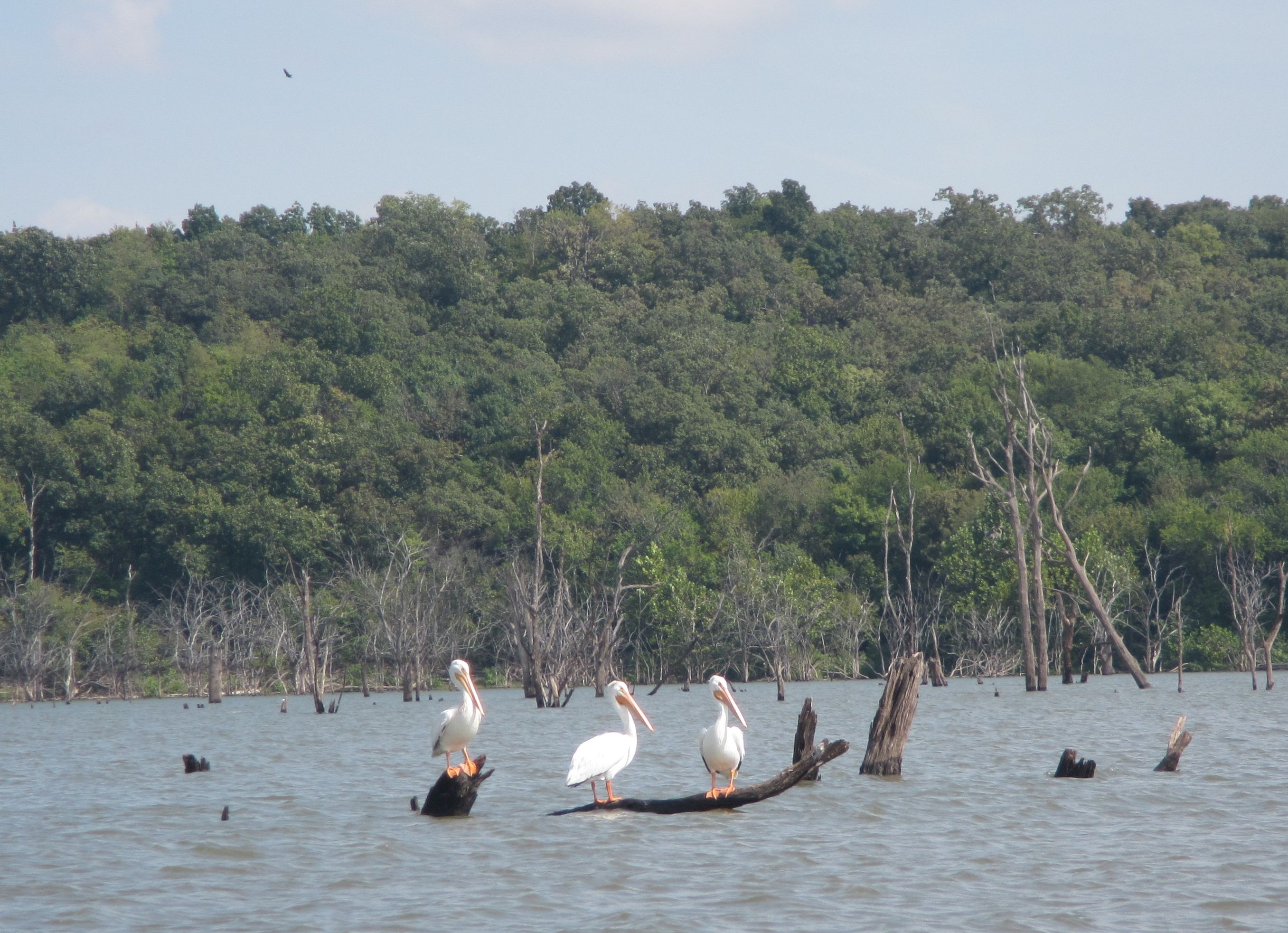 Pelicans at Clinton Lake in 2016.